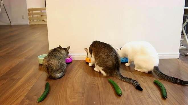 主人偷偷在猫咪背后放根黄瓜,猫咪回头会有什么反应?